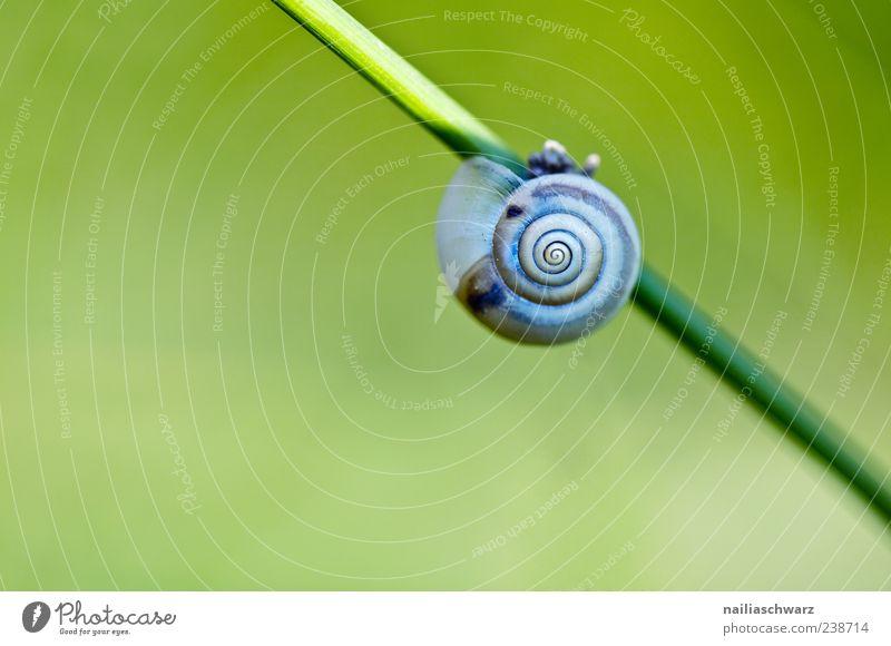 Schnecke Natur blau grün Pflanze Tier Umwelt Wiese Frühling Gras grau ästhetisch schlafen Halm langsam Schneckenhaus