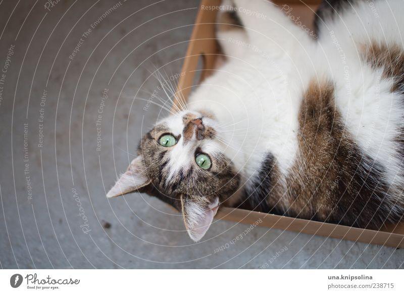 ab inne kiste! Tier Haustier Katze 1 Verpackung Paket Kasten beobachten Erholung liegen warten faulenzen Textfreiraum links Fell ruhig Farbfoto Gedeckte Farben