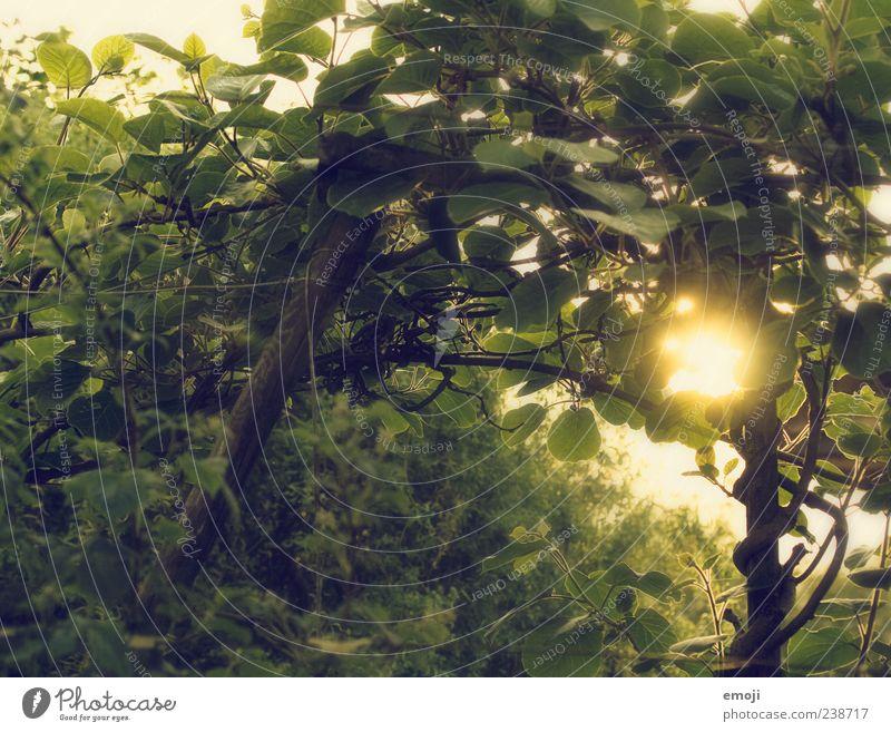 Kiwibaum Umwelt Schönes Wetter Pflanze Baum Blatt Grünpflanze gelb grün Farbfoto Außenaufnahme Morgen Dämmerung Licht Lichterscheinung Sonnenlicht