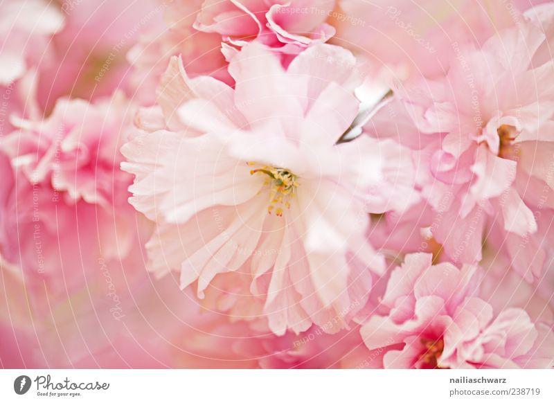 Rosa Blüten Natur Pflanze Frühling Blume ästhetisch rosa zerbrechlich Pastellton Farbfoto mehrfarbig Außenaufnahme Menschenleer Schwache Tiefenschärfe zart