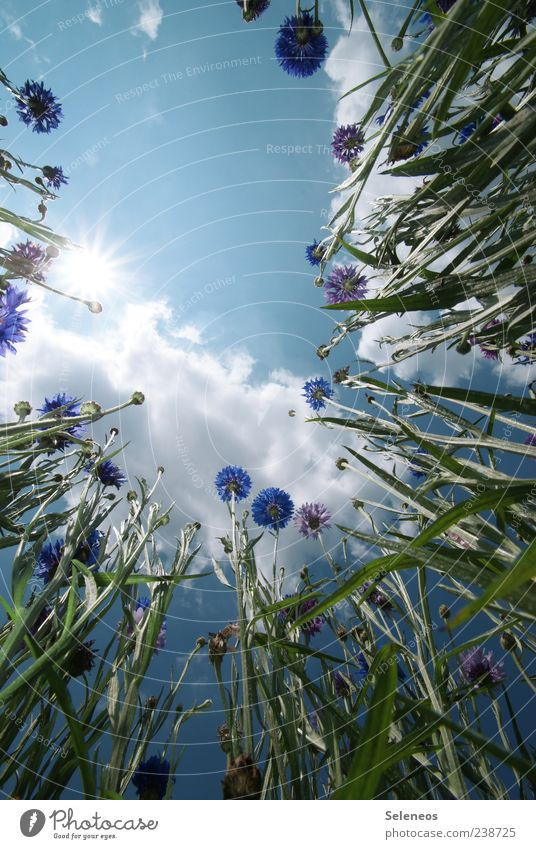 Kornblumenfeld Himmel Natur Pflanze Sommer Sonne Blume Landschaft Wolken Umwelt Blüte Frühling Wiese natürlich Garten Wetter Feld