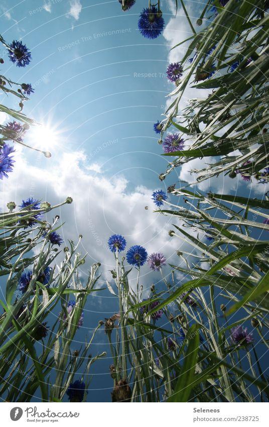 Kornblumenfeld Umwelt Natur Landschaft Pflanze Himmel Wolken Sonne Frühling Sommer Klima Wetter Schönes Wetter Blume Blüte Garten Wiese Feld Wachstum natürlich