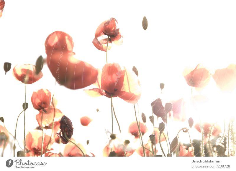 Blushing Poppy Natur rot Pflanze Sommer Blume Farbe hell rosa ästhetisch zart Blühend Mohn Leichtigkeit Mohnfeld Wildpflanze Mohnblüte
