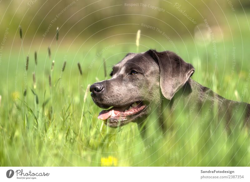 A beautiful dark Labrador Retriever plays outside Stil Sommer Natur Garten Park Wiese Tier Haustier Hund 1 Liebe springen Tierliebe head happy funny pet animal