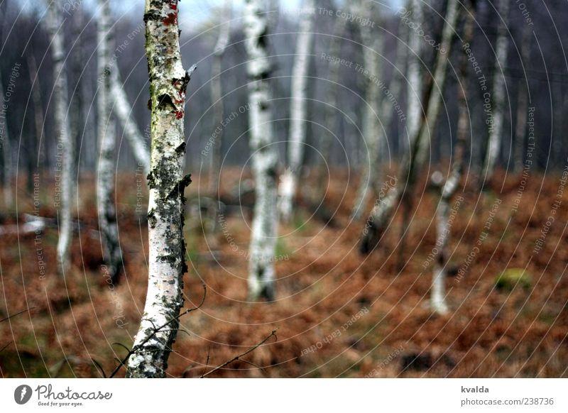 Birkenwald Umwelt Natur Landschaft Pflanze Herbst Baum Wald kalt braun weiß herbstlich Farbfoto Außenaufnahme Menschenleer Tag Zentralperspektive Baumstamm