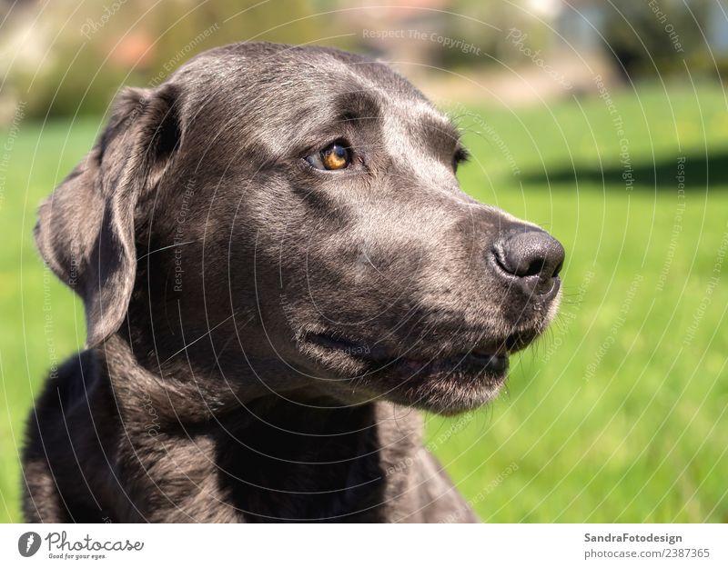 A beautiful dark Labrador Retriever plays outside Natur Hund Sommer Tier Freude Hintergrundbild Liebe natürlich Stil Glück Spielen Zufriedenheit Park