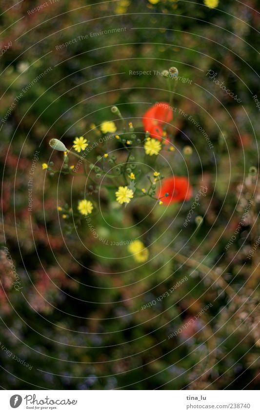 grün gelb und rot Umwelt Natur Pflanze Frühling Sommer Blume Gras Grünpflanze Wildpflanze mehrfarbig Farbfoto Außenaufnahme Detailaufnahme Menschenleer