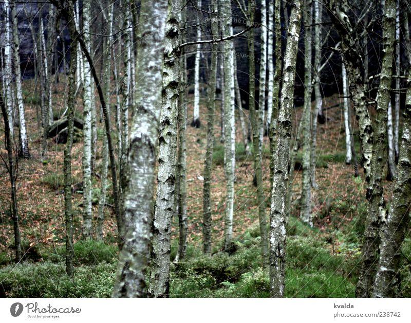 Birkenwald Natur weiß grün Baum Pflanze ruhig Wald Landschaft Herbst Baumstamm herbstlich Umwelt Birkenrinde