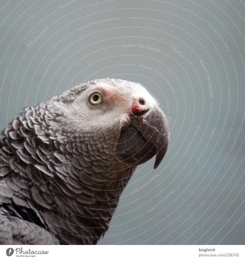 Graupapagei Vogel Papageienvogel 1 Tier grau Schnabel Auge Feder Farbfoto Gedeckte Farben Innenaufnahme Textfreiraum rechts Textfreiraum oben