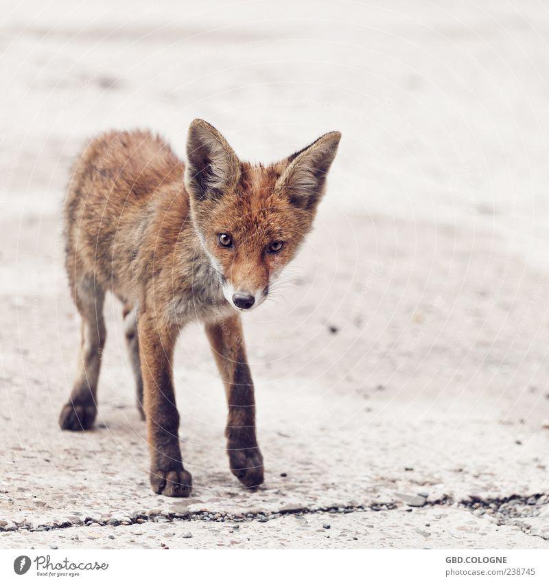 Neugieriger Blick Tier Auge klein Tierjunges braun Wildtier Nase stehen Ohr Fell dünn frech Pfote Fuchs
