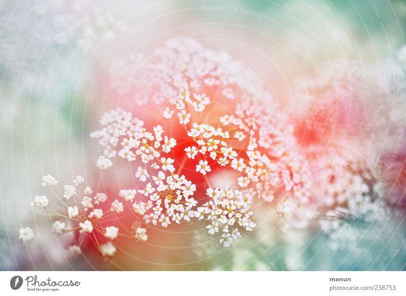 Bärenklau Natur Frühling Pflanze Sträucher Blüte Wildpflanze Doldenblütler Blühend außergewöhnlich schön Farbfoto Außenaufnahme Nahaufnahme Detailaufnahme