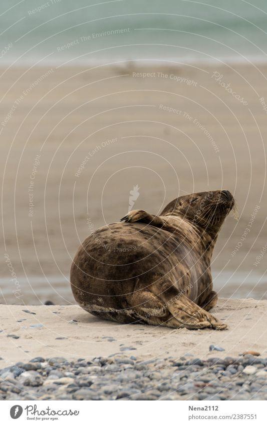 Sonnenbad | Lebensart Umwelt Natur Tier Sand Wasser Küste Strand Nordsee Ostsee Meer Insel genießen liegen schlafen helgoland Robben wild Wildtier Landraubtier
