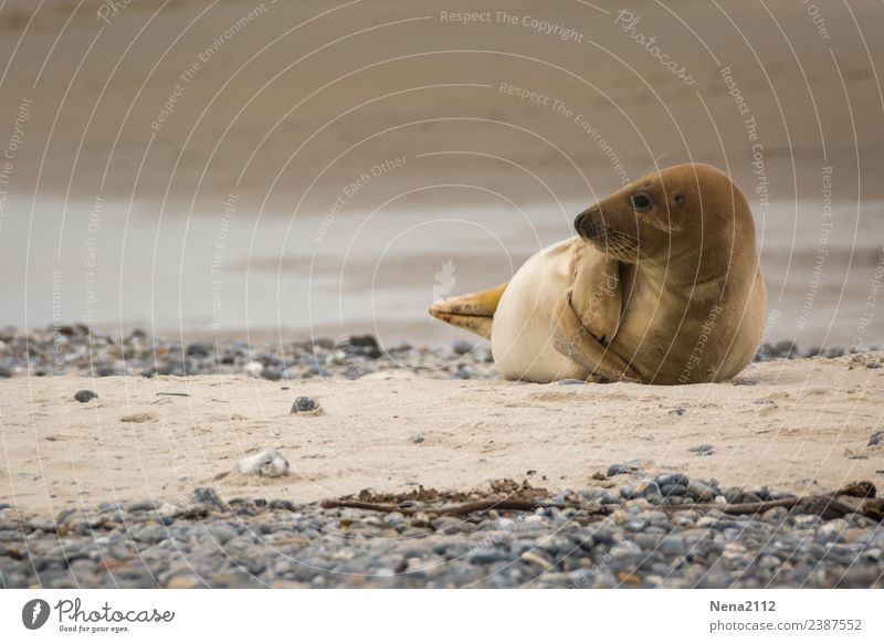 Mumienspiel? | Kurioses Umwelt Natur Tier Sand Küste Strand Nordsee Ostsee Meer Insel lustig maritim Robben wild Helgoland Wildtier Landraubtier Kegelrobbe