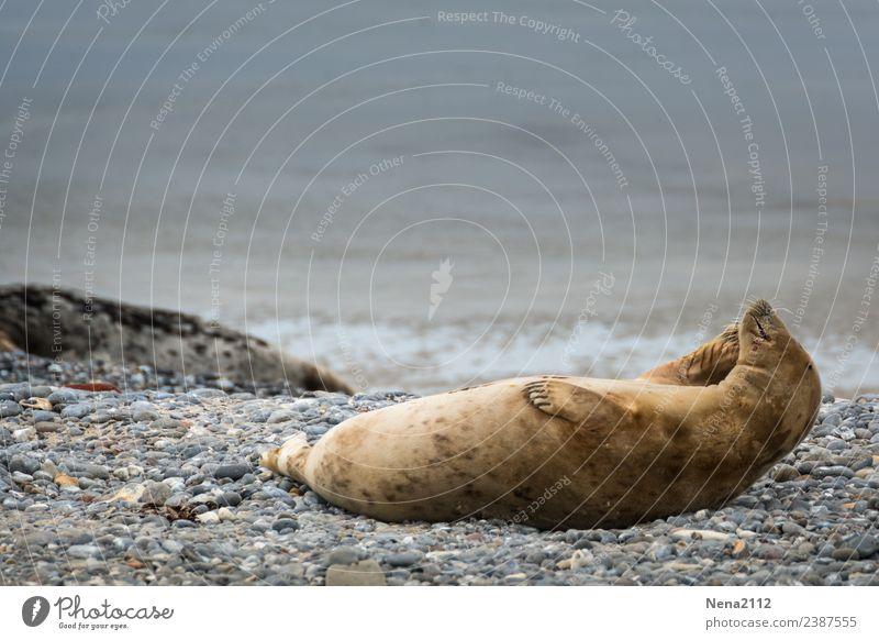 und am Ohr kratzen... Umwelt Natur Tier Küste Strand Nordsee Insel Wildtier 1 genießen liegen helgoland Robben wild Sport-Training sportlich ruhig Spielen
