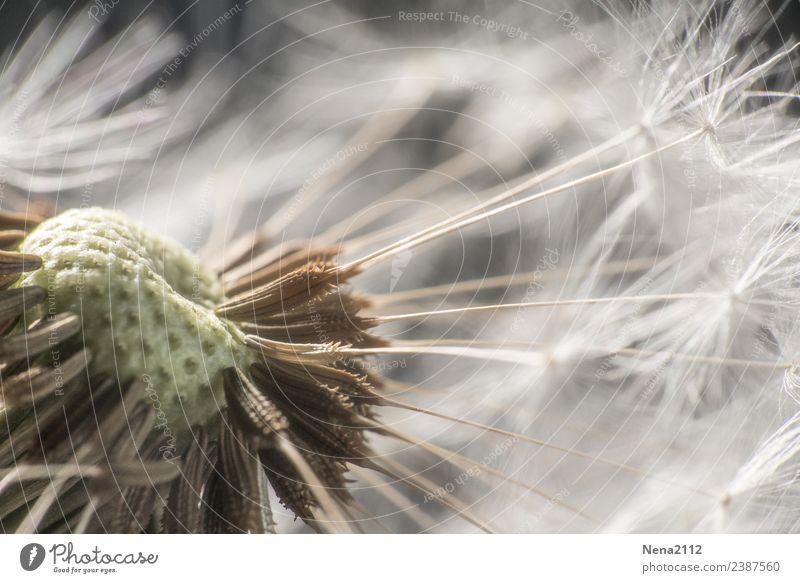 Mit Schwung Natur Pflanze Frühling Sommer Schönes Wetter nah Löwenzahn weich leicht hell faszinierend Garten Samen Pollen Pollenflug Farbfoto Außenaufnahme