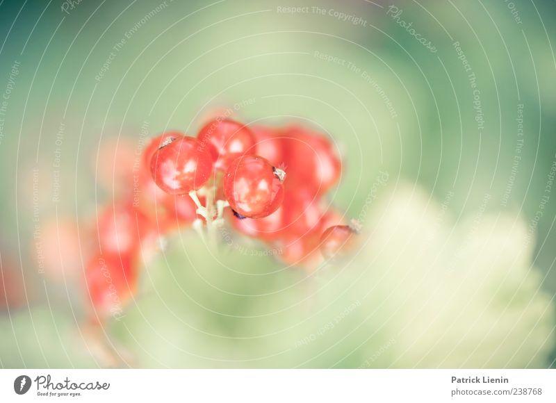 saures Früchtchen Frucht Sommer Umwelt Natur Pflanze Frühling Wildpflanze grün rot Johannisbeeren Beeren Beerensträucher Farbfoto mehrfarbig Außenaufnahme