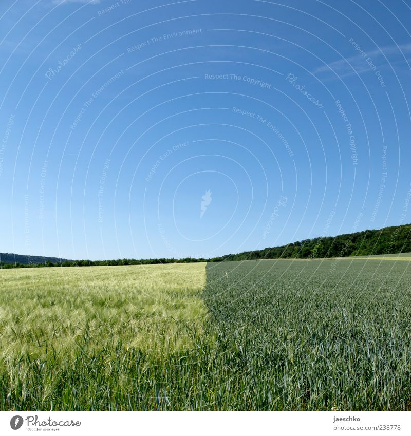 Sortenrein Himmel Wolkenloser Himmel Sommer Schönes Wetter Pflanze Nutzpflanze Feld Natur Landwirtschaft Ackerbau Getreidefeld Horizont Ferne groß grün gelb