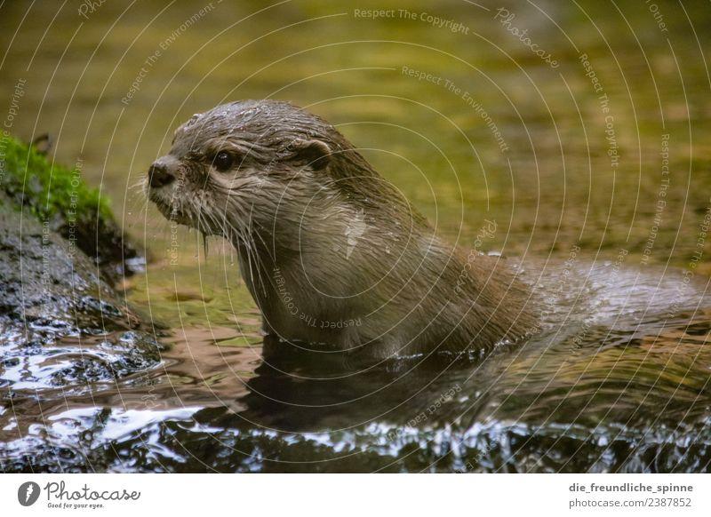 Neugieriger Fischotter Tier Wasser Flussufer Wildtier Zoo Otter 1 Schwimmen & Baden Spielen nass niedlich Willensstärke Mut Tatkraft Abenteuer Blick Tierliebe