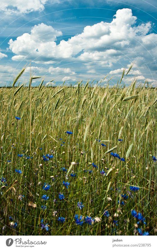 ährengold. Lebensmittel Natur Landschaft Pflanze Himmel Wolken Schönes Wetter Nutzpflanze Wildpflanze Feld blau gelb Getreide Getreidefeld Kornfeld Kornblume
