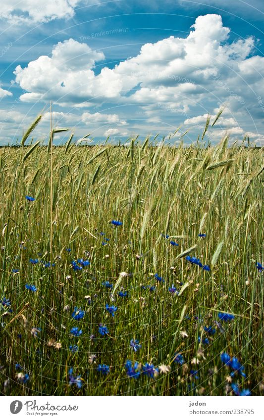 ährengold. Himmel Natur blau Pflanze Sommer Wolken gelb Landschaft Lebensmittel Feld gold Schönes Wetter Getreide Kornfeld malerisch Getreidefeld