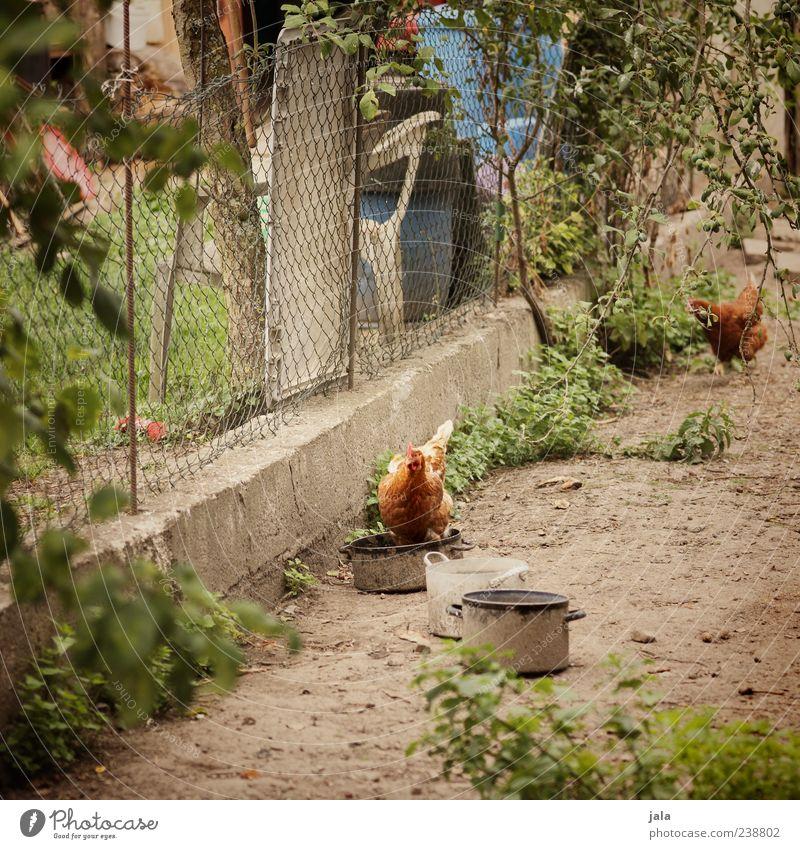 hühnerhof Pflanze Gras Sträucher Grünpflanze Bauernhof Zaun Tier Nutztier Haushuhn Hühnervögel 2 natürlich braun grün Farbfoto Außenaufnahme Menschenleer Tag