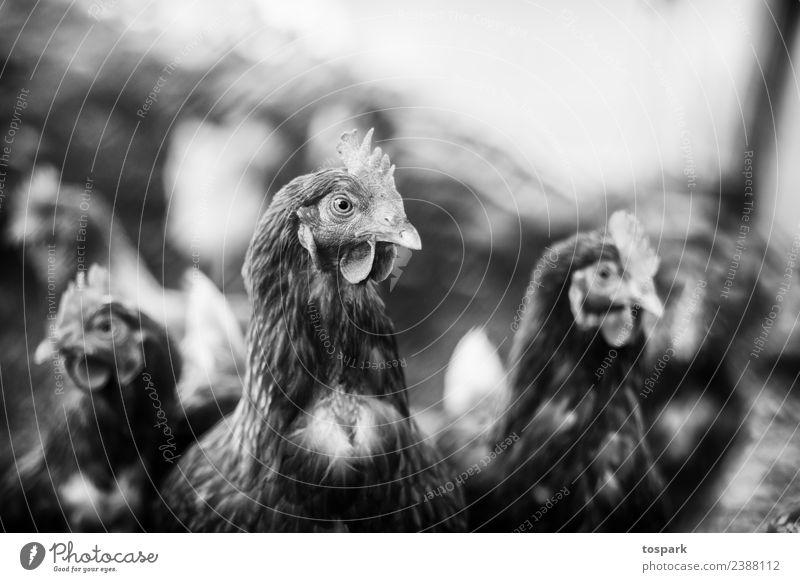 Hühner Natur weiß Tier schwarz Umwelt natürlich Vogel Zusammensein Häusliches Leben Freundschaft Zusammenhalt nachhaltig Fressen Haushuhn füttern Nutztier