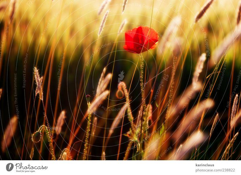 Mohn auf dem Feld Natur Landschaft Pflanze Sonnenaufgang Sonnenuntergang Sonnenlicht Sommer Gras Blüte Wildpflanze Wiese gelb rot Klima Umwelt Jahreszeiten