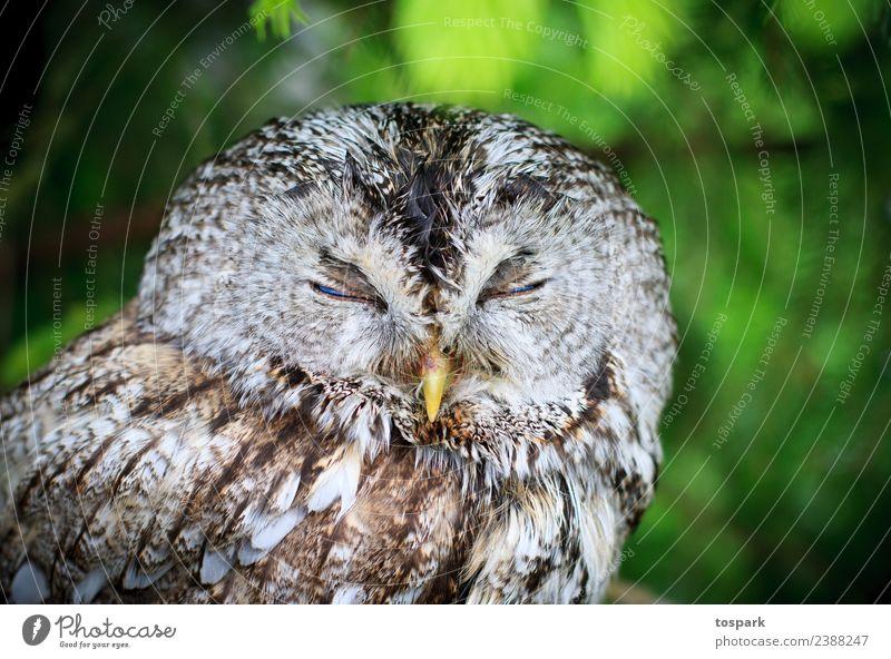 Eule schläft Natur grün weiß Tier Freude Gesundheit Umwelt Gefühle Glück Denken braun Stimmung Zufriedenheit träumen frei Wildtier