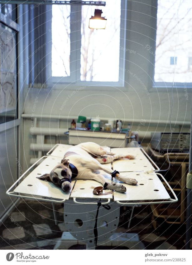 Doc #Schmerz Haustier Hund 1 Tier authentisch weiß Operation Farbfoto Innenaufnahme Menschenleer Tag Starke Tiefenschärfe Zentralperspektive Blick Hundeblick