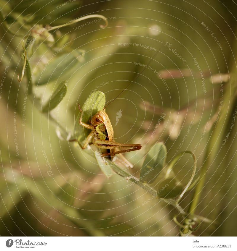 hüpfer Natur Landschaft Pflanze Tier Gras Blatt Grünpflanze Wildtier Insekt Heuschrecke 1 klein grün Farbfoto Außenaufnahme Menschenleer Tag