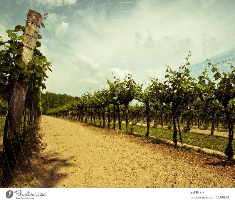 grüner Veltliner Natur Landschaft Himmel Wolken Sommer Wetter Weinberg Farbfoto Außenaufnahme Tag Totale Weinbau Menschenleer