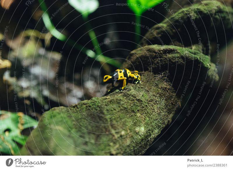 Froschsache Pflanze Baum Moos Ast Tier 1 Holz Bewegung entdecken krabbeln exotisch einzigartig gelb grün schwarz Angst außergewöhnlich gefährlich klein