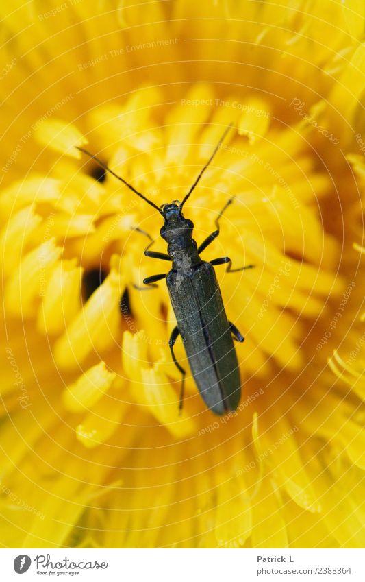 Bis mich jemand findet... Pflanze Tier Blume Blüte Käfer 1 Blühend entdecken frei schön gelb schwarz Warmherzigkeit Sympathie Leben Leichtigkeit nachhaltig