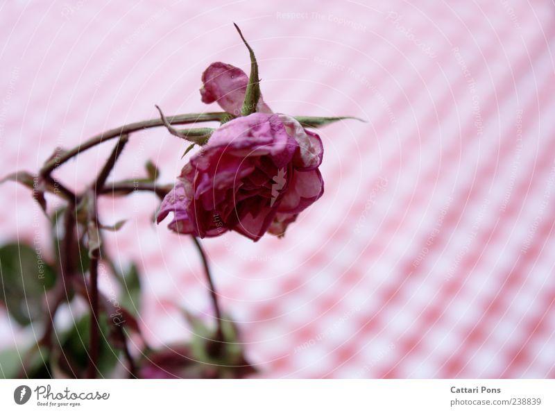 it withers and withers... Pflanze Blume Blatt Blüte rosa Rose Vergänglichkeit nah trocken hängen getrocknet Tischwäsche verblüht dehydrieren