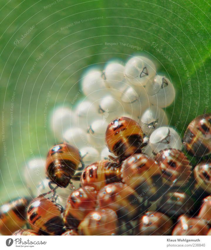 Insektenbillard Pflanze Blatt Tier Wildtier Käfer Tiergruppe Tierjunges krabbeln laufen braun grün schwarz weiß Zusammenhalt schlüpfen Farbfoto Außenaufnahme