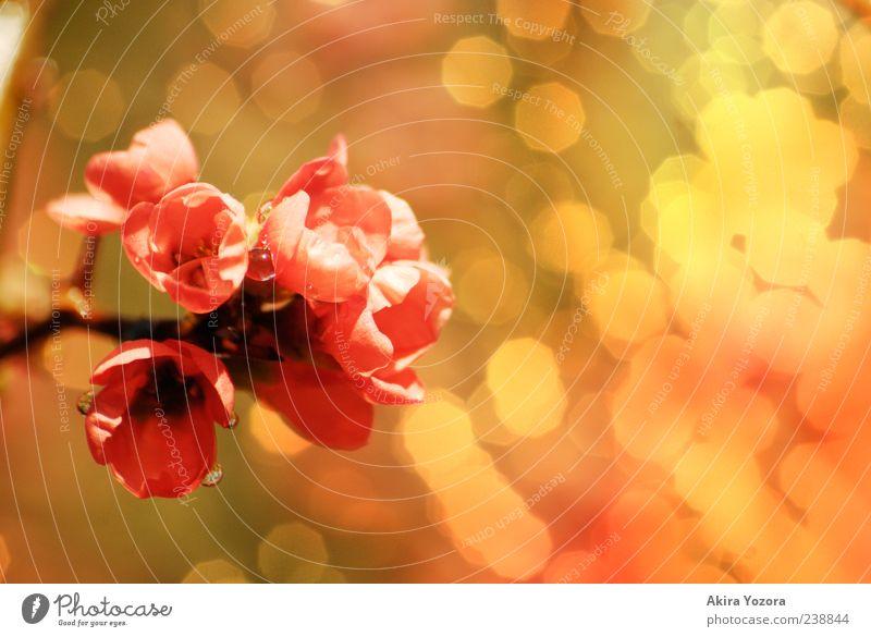 [80] Sparkling Natur grün rot Pflanze gelb Frühling Blüte braun rosa glänzend nass Wassertropfen ästhetisch leuchten nah Blühend