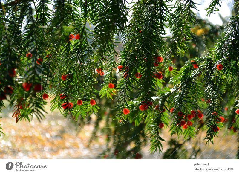 leuchtend rot Natur grün Baum rot Samen Nadelbaum Eibe