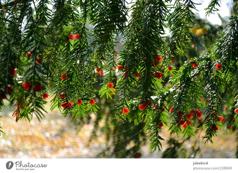 leuchtend rot Natur grün Baum Samen Nadelbaum Eibe