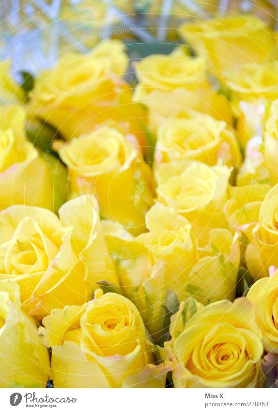 gelb Frühling Sommer Blume Rose Blüte Blumenstrauß Farbfoto mehrfarbig Nahaufnahme Muster Menschenleer Schwache Tiefenschärfe Blühend