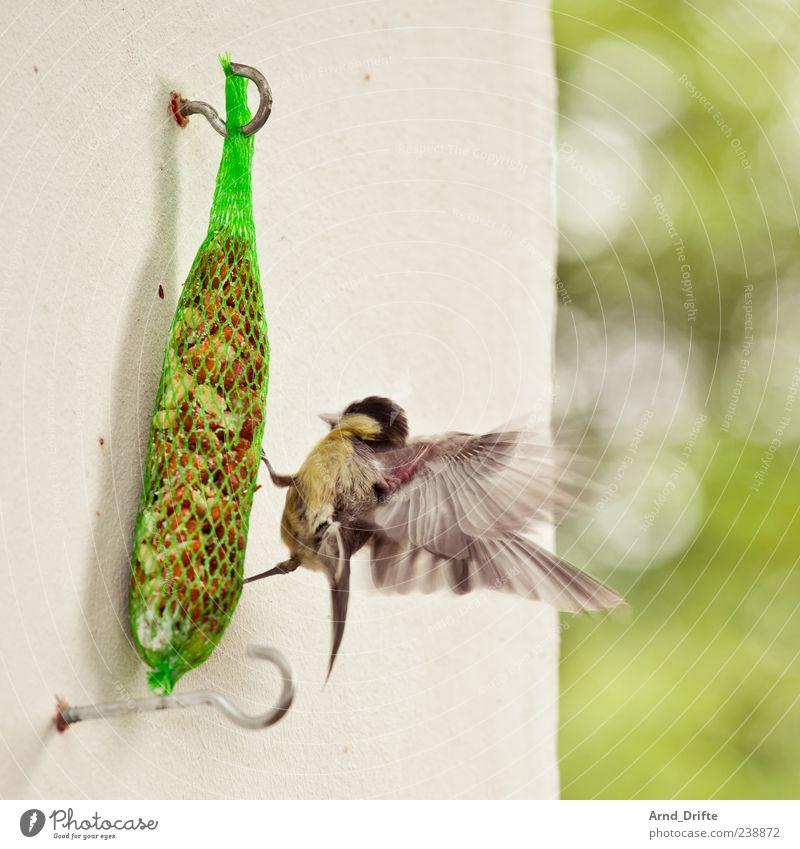 Bei mir piept's wohl...? Balkon Wildtier Vogel Flügel Meisen Vogelfutter 1 Tier fliegen Fressen flattern Haken Wand Sommer Farbfoto Außenaufnahme Tag
