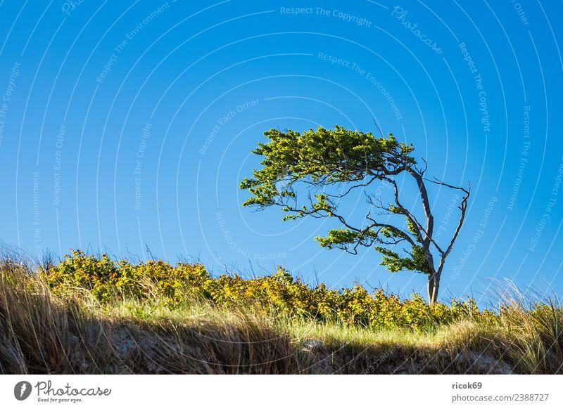 Windflüchter auf dem Fischland-Darß Erholung Ferien & Urlaub & Reisen Tourismus Natur Landschaft Wolken Wetter Baum Blatt Küste Ostsee blau grün Idylle Umwelt