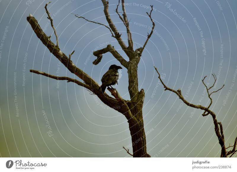 Weststrand Umwelt Natur Himmel Baum Tier Wildtier Vogel Kolkrabe 1 sitzen dunkel natürlich wild Stimmung Farbfoto Außenaufnahme Menschenleer Ast laublos schwarz
