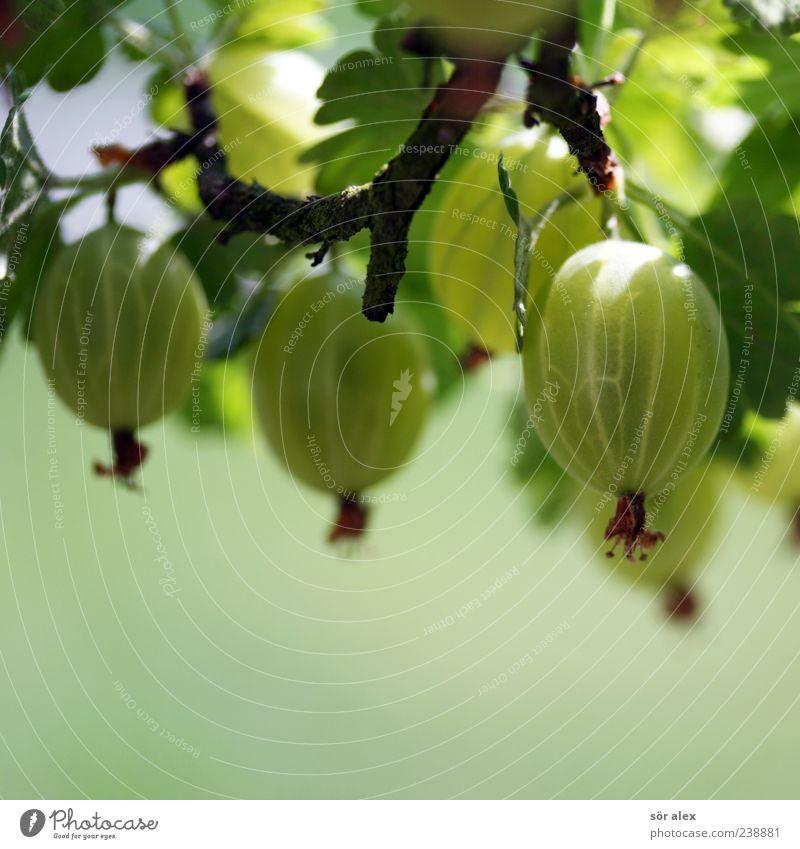 Obstgarten Lebensmittel Frucht Bioprodukte Pflanze Sträucher Blatt Nutzpflanze Stachelbeeren Stachelbeerblatt Beeren Beerensträucher Garten lecker rund saftig