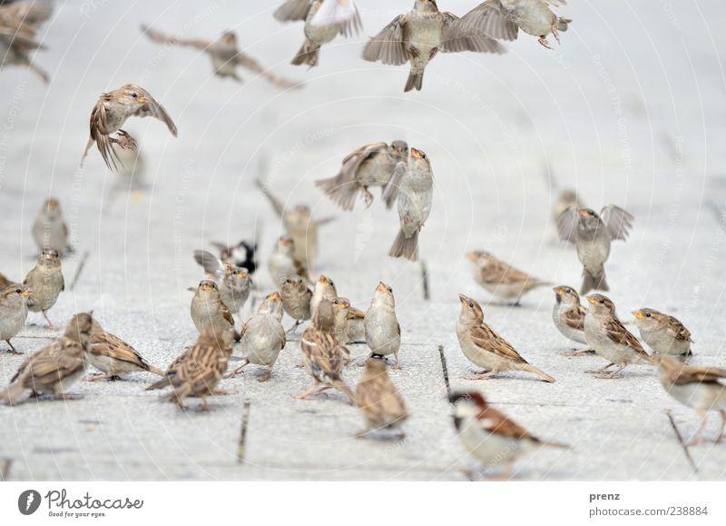 flugshow Umwelt Natur Tier Vogel Schwarm braun grau Spatz fliegen fliegend flattern Blick viele Fußweg Bodenplatten Farbfoto Außenaufnahme Menschenleer