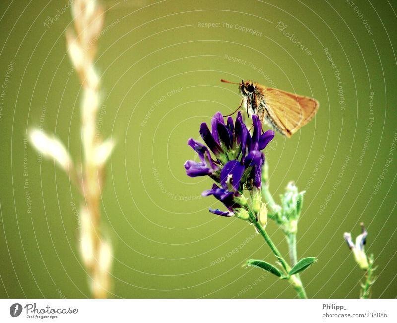 Flieg Falter, flieg ... Natur grün Pflanze Blume Tier Blüte orange Wildtier Flügel Insekt Schmetterling Wildpflanze