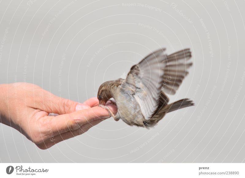 geben und nehmen Hand Finger 1 Mensch Umwelt Tier Vogel fliegen Fressen braun grau Spatz flattern fliegend füttern Daumen Flügel Farbfoto Außenaufnahme