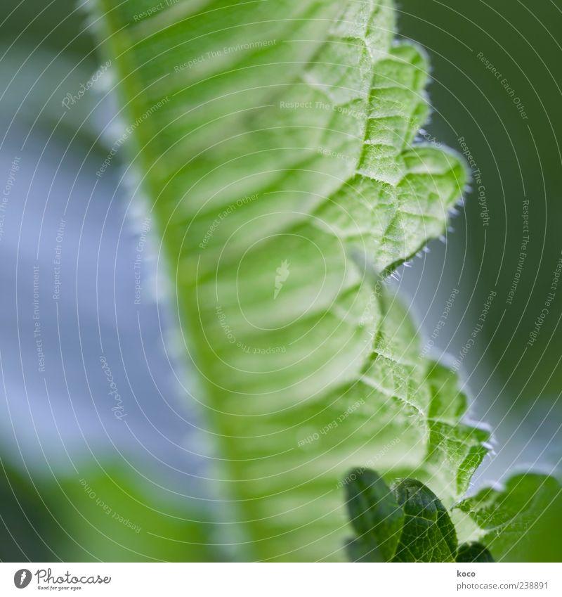 Ein Blatt ist ein Blatt ist ein Blatt Natur blau weiß grün Pflanze Sommer Blatt Frühling außergewöhnlich frisch ästhetisch Wachstum Spitze stachelig Grünpflanze