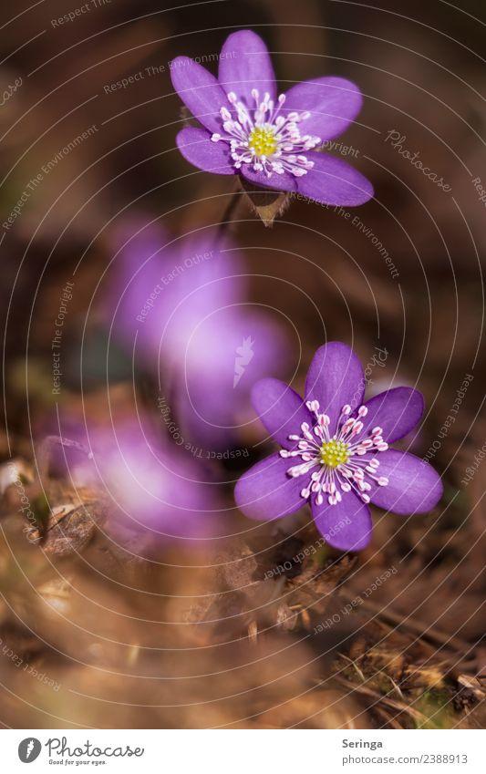 Farbenfrohe Leberblümchen Natur Pflanze Tier Frühling Blatt Blüte Wildpflanze Wald Blühend Duft entdecken schön klein violett grün Farbfoto mehrfarbig