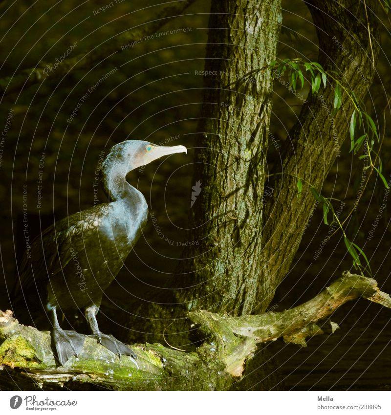 Anglerfeind Umwelt Natur Baum Baumstamm Ast Park Seeufer Tier Wildtier Vogel Kormoran 1 Blick sitzen stehen dunkel natürlich Farbfoto Außenaufnahme Menschenleer