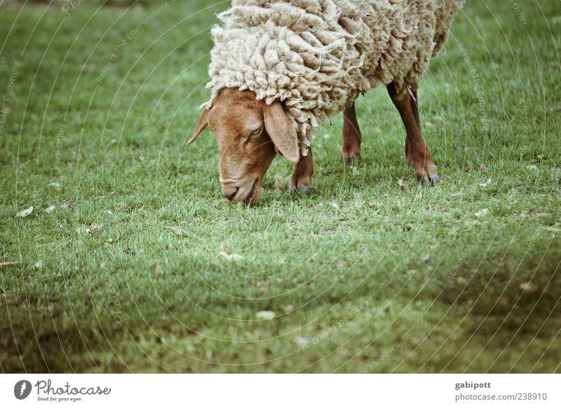 Noch ein Tag im Zoo [no6] Tier Nutztier Tiergesicht Fell Schaf 1 stehen dick kuschlig niedlich braun grün Glück Zufriedenheit Lebensfreude nachhaltig Natur
